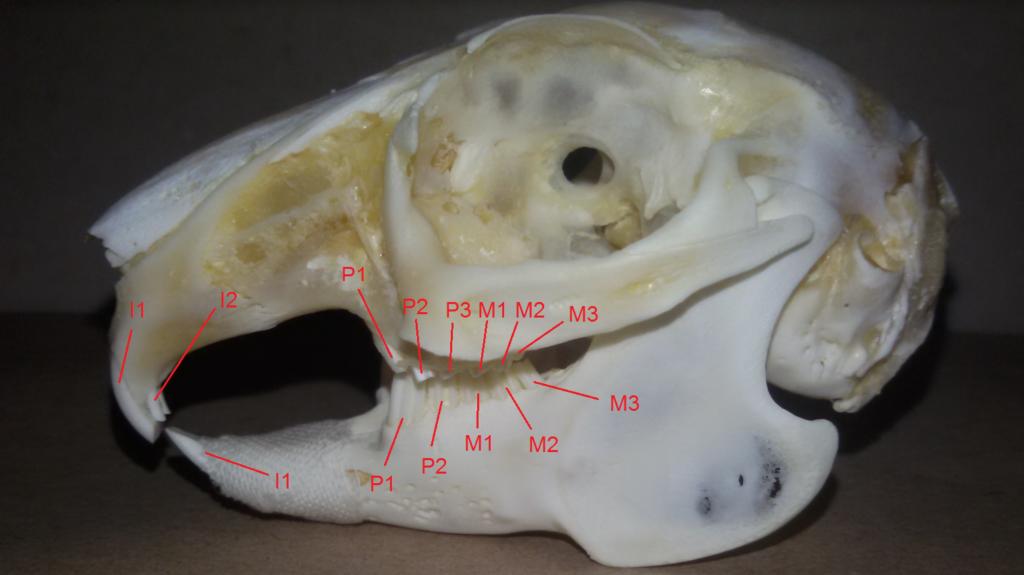 czaszka królika