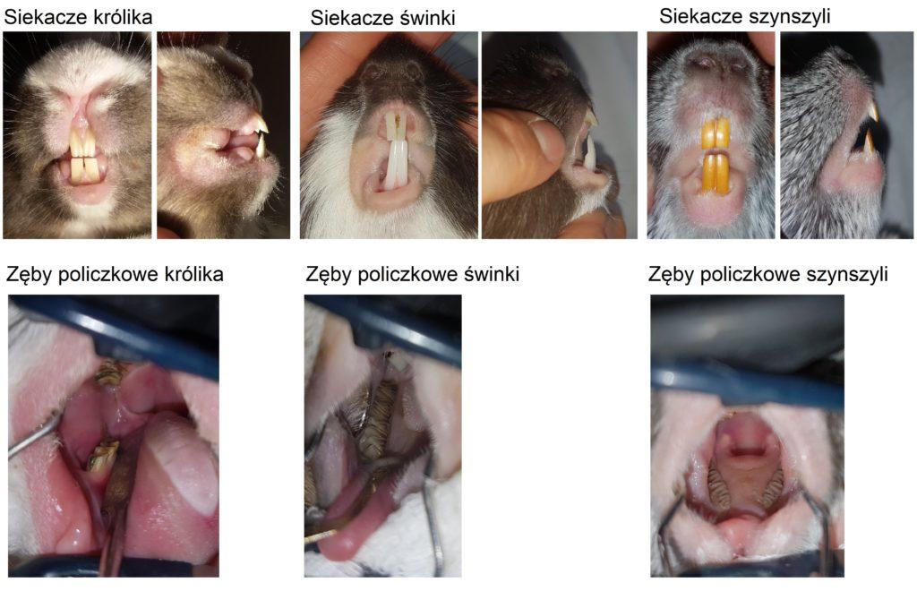 zęby królików i gryzoni